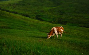 Picture greens, grass, cow, slope, pasture, hill, meadow, red, spotted, grazing