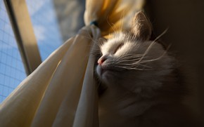 Picture cat, white, cat, mustache, look, face, light, fluffy, window, curtains, view, the observer