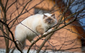 Picture cat, cat, branches, house, tree, blue eyes, marks, color-point, ragdoll
