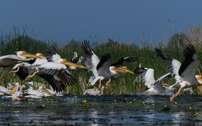 Picture flight, birds, shore, pack, pond, a lot, pelicans, Pelican