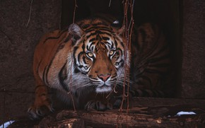 Picture look, face, leaves, tiger, pose, the dark background, portrait, logs, zoo, housing