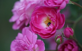 Picture macro, roses, beetle, petals, insect, buds