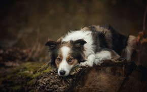 Picture nature, the dark background, tree, dog, lies, log, spotted