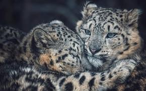 Picture look, face, tenderness, portrait, baby, hugs, IRBIS, snow leopard, cub, mom, logs, bokeh, hugs, snow …