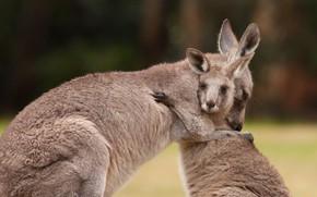 Picture Australia, kangaroo, marsupials