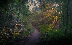 Picture forest, rays, trees, path