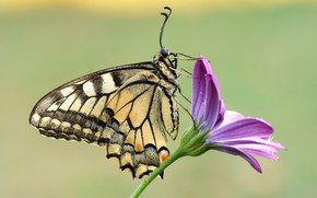 Picture flower, summer, drops, macro, background, lilac, butterfly, profile, insect, swallowtail, osteospermum