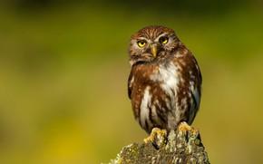 Picture look, owl, bird, stump, green background, owl