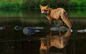 Picture look, pose, reflection, stones, Fox, pond
