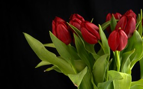Picture buds, flowers, bouquet, red, tulips, leaves, black background