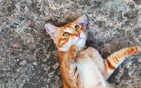 Picture cat, cat, look, asphalt, pose, paws, red, lies, ears, face, ear, funny