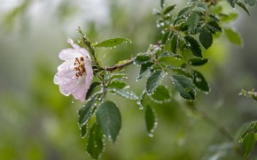Picture flower, leaves, water, drops, nature, branch, briar