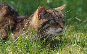Picture greens, cat, grass, cat, look, face, portrait, wild cat