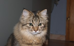Picture cat, sitting, fluffy