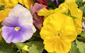 Picture macro, Pansy, viola