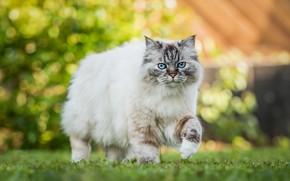 Picture cat, light, blue eyes, walk, grass, beauty, bokeh, ragdoll, summer, fluffy, cat