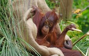 Picture grass, look, face, pose, monkey, cub, burlap, orangutan