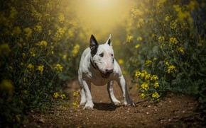 Picture field, summer, face, light, flowers, nature, pose, dog, paws, yellow, walk, path, bull Terrier, rape, …