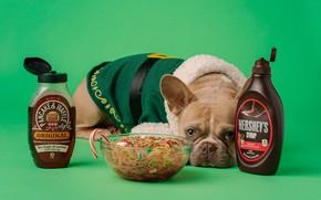 Picture food, dog, Christmas, costume, New year, bowl, green background, French bulldog, шоколадный сироп