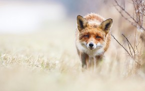 Picture grass, eyes, look, branches, nature, background, sweetheart, glade, portrait, blur, muzzle, Fox, red, walk, ears, …