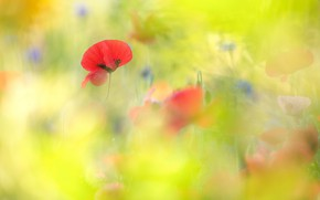 Picture flowers, blurred, green, background, red, blur, glade, mood, Maki, field, bright, summer, cornflowers