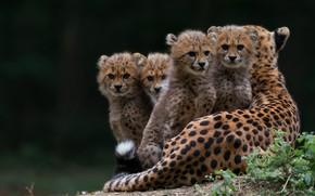 Picture grass, look, nature, pose, the dark background, kittens, Cheetah, lies, kids, wild cats, mom, cuties, …