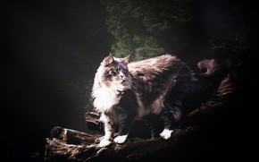 Picture cat, cat, look, face, nature, pose, the dark background, grey, Maine Coon