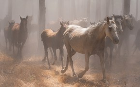 Picture forest, light, trees, fog, trunks, horses, horse, white, a lot, muzzle, gallop, the herd, the …