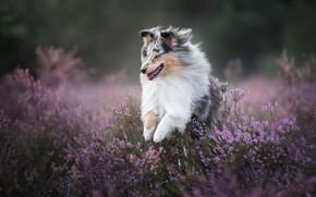Picture joy, mood, dog, walk, Sheltie, Heather, Shetland Sheepdog