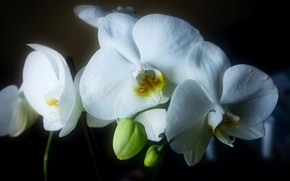Picture light, flowers, the dark background, white, orchids
