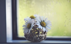 Picture flowers, chamomile, window