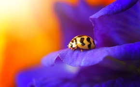 Picture beetle, ladybug, insect