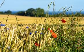 Picture wheat, field, summer, flowers, nature, Maki, ears, cereals, cornflowers, wheat, poppy