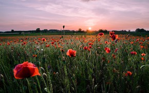 Picture field, summer, sunset, flowers, Maki, the evening, meadow, red, poppy field