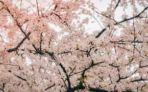Picture tree, Flowers, Nature, Plant, Cherry, Plants, Nature, Beautiful, Cherry, Tree, Flowers, Cherry blossom, Flora, Cherry …