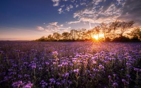 Picture trees, sunset, flowers, meadow, Hungary