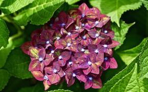 Picture macro, Burgundy, hydrangea