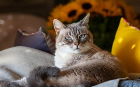Picture cat, cat, look, face, sunflowers, comfort, house, tail, bed, lies, pillow, blue eyes