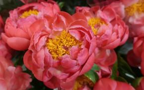 Picture macro, pink, peonies
