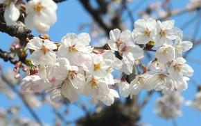 Picture flowers, spring, Sakura, flowering