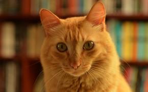 Picture cat, cat, look, face, books, portrait, red, library, bokeh, cat scientist