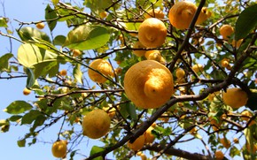 Picture leaves, light, branches, yellow, fruit, a lot, lemons, hang