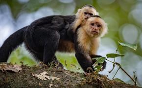 Picture look, pose, monkey, monkeys, cub, mom, Capuchins