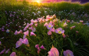 Picture field, summer, grass, the sun, flowers, glade, pink, escholzia