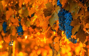 Picture berries, harvest, grapes, bunch, Argentina