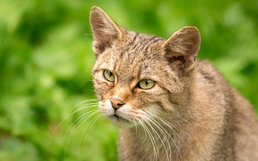 Picture cat, cat, look, face, portrait, green background, green eyes, bokeh, wild, forest, European