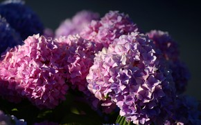 Picture light, flowers, the dark background, background, petals, pink, flowering, a lot, inflorescence, hydrangea