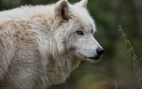 Picture white, look, face, background, wolf, portrait, Arctic, polar