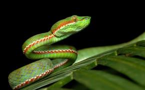 Picture nature, background, Trimeresurus fucatus, Siamese Peninsular Pit Viper