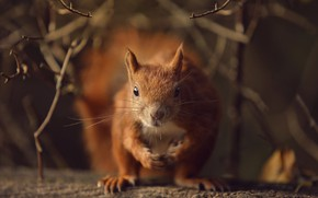 Picture autumn, look, branches, animal, protein, Board, rodent, Ahmed Hanjoul